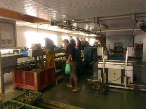 Inside the sorting shed with Yvonnick and three of his employées